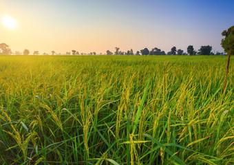 Rice Field of Farmer