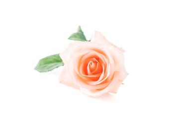 Coral rose