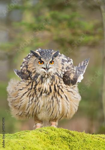 """Barn Owl Taking Off """"Barn owl ..."""