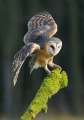 Fototapete - Barn owl taking off from mossy perch, open wings, with clean background, Czech republic, Europe