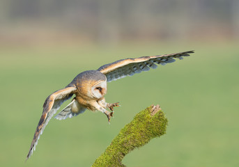 Wall Mural - Barn owl taking off from mossy perch, open wings, with clean background, Czech republic, Europe