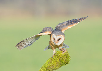 Wall Mural - Barn owl landing on mossy perch, open wings, with clean background, Czech republic, Europe