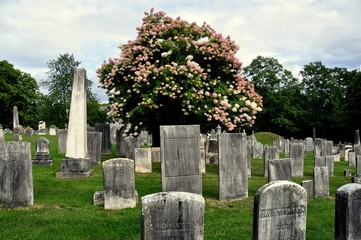 Lenox, Massachusetts:  18th and 19th century tombstones and a large pink flowering Hydrangea tree in the burial ground at the Church on the Hill