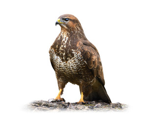 Common buzzard isolated on white