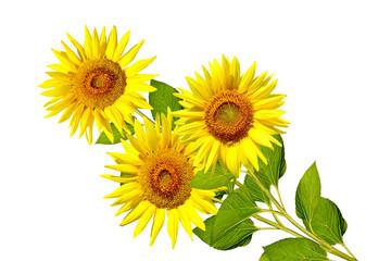 beautiful sunflower isolated