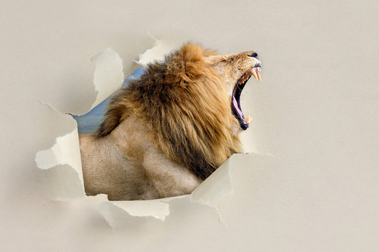 Lion looking through a hole torn the paper