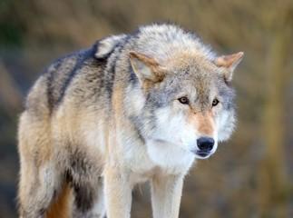 Eurasian Wolf (Canis Lupis Lupis)