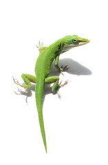 Green Anole Lizard on White