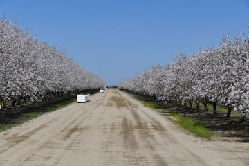 Beautiful Peach farm Blossom around Fresno