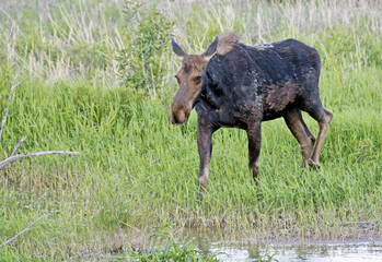Lone Moose feeds in green grass near a river.