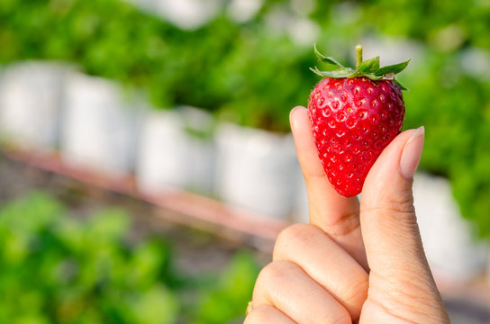 Perfect fresh strawberry being plucked, with green leaves.