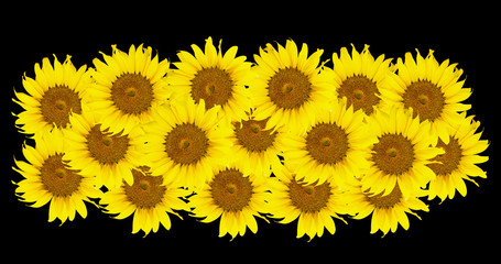 Sunflowers,Sunflowers blooming against a bright sky,Sunflowers,S