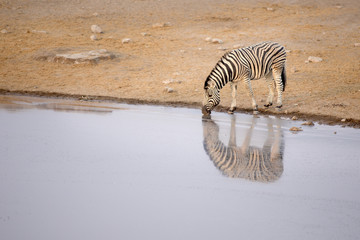 Zebra drinking from a water hole