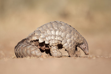 Pangolin digging for ants.