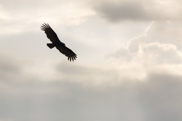 Eagle silhouette against storm clouds.