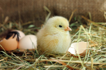 Cute yellow chicken and egg shell on background