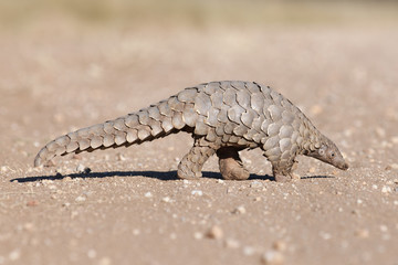 Pangolin searches for ants
