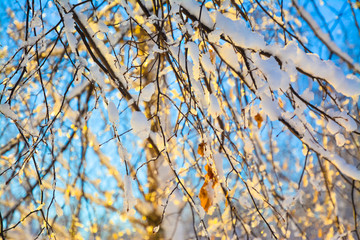 Snow-covered birch branches in sunlight