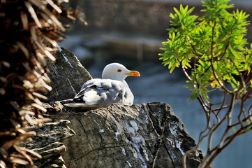 adult seagull larus sits on the rock