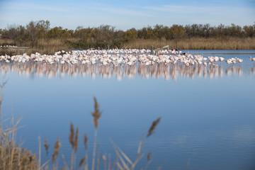 Large group of pink flamingos
