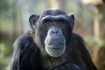 Foto op Canvas Aap Male chimpanzee