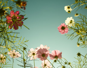 cosmos flowers in the garden with sky  background