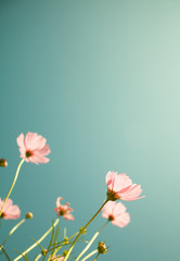 cosmos flowers in the garden with sky  background in pastel retr