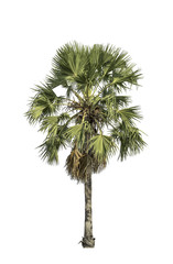 sugar palm tree isolated with clipping path