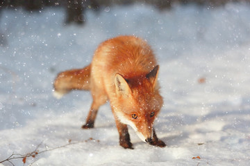 red fox in winter forest Pretty