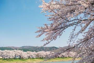大河原一目千本桜