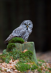 Wall Mural - Great grey owl sitting on mossy stump, closeup, clean  background, Czech Republic, Europe