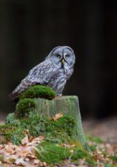 Fototapete - Great grey owl sitting on mossy stump, closeup, clean  background, Czech Republic, Europe