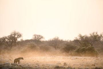 Hyena at a water hole in Etosha National Park.