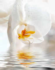 White Orchid. Closeup with reflection in water.