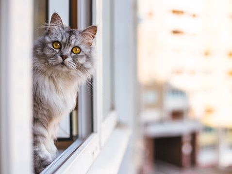 Beautiful grey cat sitting on windowsill and looking to a window