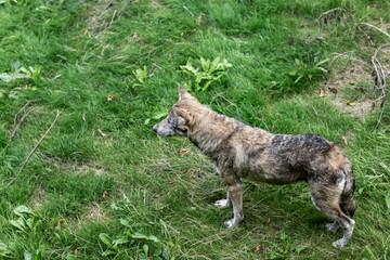 Wolf auf Wiese