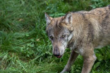 Wolf schaut agressiv