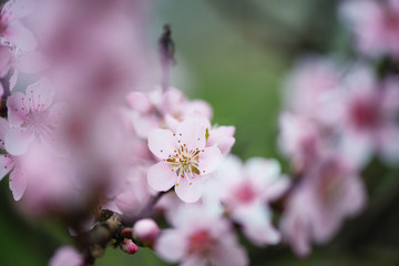 Close up shot of peach blossom on natural light and with selective focus. Short depth of field for dreamy soft background.