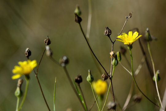Nipplewort (Lapsana communis). Yellow flower in the daisy family (Asteraceae), showing erect, hairy branching stems