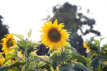 Beautiful sunflower on natural background with vintage filter st