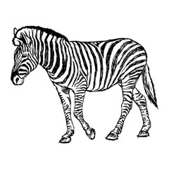 illustration vector doodle hand drawn of sketch zebra standing isolated on white