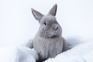 gray rabbit sitting on a fluffy blanket