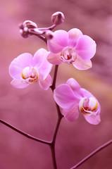 Fioletowy storczyk - orchidea