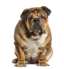 English Bulldog siting in front of a white background