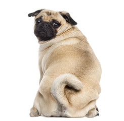 Rear view of a Pug isolated on white