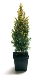 Picea glauca Rainbow's End in a pot
