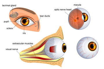 anatomy of the eye. the eyeball, iris,pupil