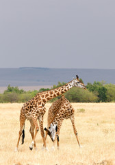 Two male of giraffe fighting, Masai Mara, Kenya, Africa