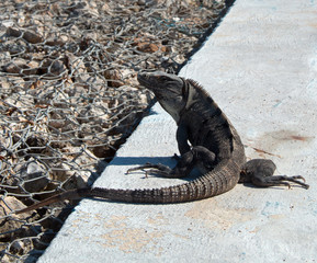 Lesser Antillean Iguana on Isla Mujeres Mexico coastline - Isla Mujeres is a small island just off the coast from Cancun