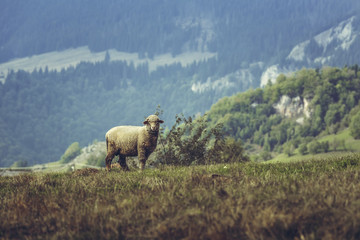 One curious stray sheep on a mountain pasture in spring, in Transylvania region, Romania.